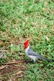 Röd-krönad huvudsaklig sångfågel i Hawaii - lodlinjeskott Royaltyfri Foto