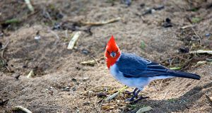 Röd krönad kardinal Arkivbilder