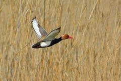 Röd krönad pochard (Netta Rufina) Arkivfoton