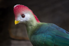 Röd-krönad turaco Royaltyfri Fotografi