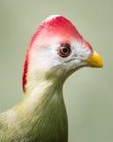 Röd-krönad turaco Arkivfoton