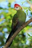 Röd-krönad Turaco, Tauraco erythrolophus, sällsynt färgad grön fågel med det röda huvudet, i naturlivsmiljön som sitter på filial Arkivfoto