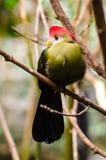 röd-krönad turacoTauraco erythrolophus Royaltyfri Foto