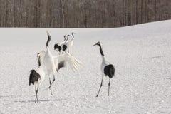 Röd-krönade Crane Dancing för kompisar Arkivfoton
