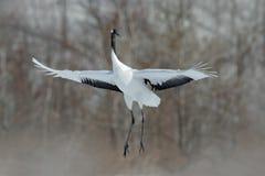 Röd-krönade den vita fågeln för flyget kranen, Grusjaponensis, med den öppna vingen, med snöstormen, Hokkaido, Japan royaltyfria foton