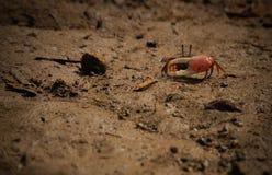Röd krabba Royaltyfri Fotografi