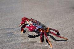 Röd krabba på stranden. Arkivbilder