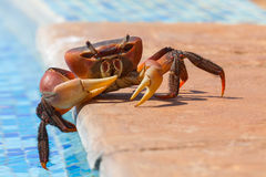 Röd krabba som doppar dess Toe In Pool Arkivfoton