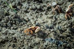 Röd krabba som poserar på jordning på lågvatten i Fuseta Algarve Portugal royaltyfri bild