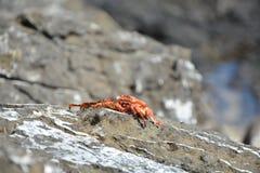 Röd krabba upp slut Arkivbild
