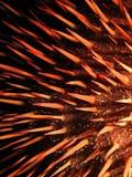 Röd krona-av-taggar sjöstjärna Royaltyfri Bild
