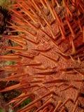 Röd krona-av-taggar sjöstjärna fotografering för bildbyråer