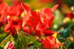 Röd krona av taggblomman Royaltyfria Foton