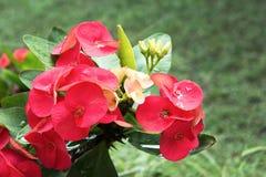 Röd krona av taggblommor med grön sidabakgrund Kristustaggblommor Euphorbiamilli fotografering för bildbyråer