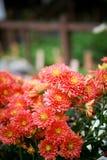 Röd krysantemum Royaltyfria Foton