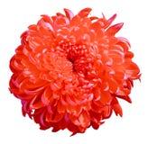 Röd krysantemum för blomma som isoleras på vit bakgrund knoppcloseblomma upp element för klockajuldesign fotografering för bildbyråer