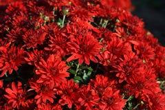 Röd krysantemumbuske Arkivfoton