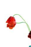 Röd kulör vallmo royaltyfri fotografi