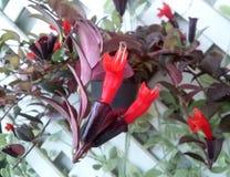 Röd läppstiftvinrankabukett Fotografering för Bildbyråer