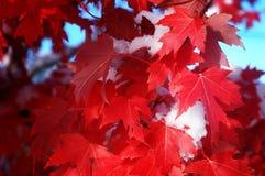 Röd lönn i snö Arkivfoton