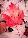 Röd lönnlöv Royaltyfri Bild