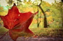 Röd lönnlöv i höstskogen Royaltyfri Foto