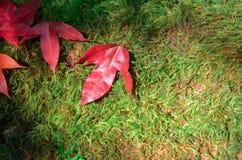 Röd lönnlöv på grön mossa fotografering för bildbyråer