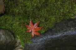 Röd lönnlöv på mossagolv Arkivfoto