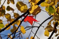 Den röda lönnlövet bland guling lämnar Royaltyfri Foto