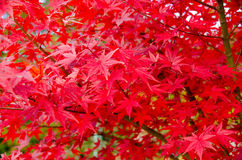 Röd lönnlöv, suddig bakgrund för lönnträd Royaltyfri Bild