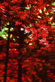 Röd lönnlövbakgrund för höst arkivfoton