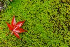 Röd lönnlövdroppe på vått fuktigt för mossa i regnskog arkivbilder