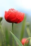 Röd lös vallmo Arkivfoto