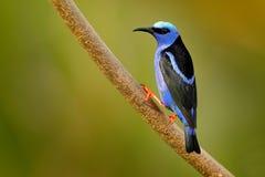 Röd-lade benen på ryggen Honeycreeper, Cyanerpes cyaneus, exotisk vändkretsblåttfågel med det röda benet från Costa Rica Metallis royaltyfri bild