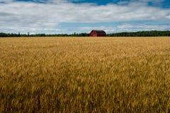 Röd ladugård i himmel och moln för vetefält blå royaltyfria bilder