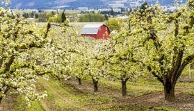 Röd ladugård i Oregon päronfruktträdgårdar Royaltyfri Fotografi
