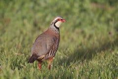 Röd-lagd benen på ryggen rapphöna, Alectorisrufa Arkivfoto