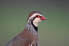Röd-lagd benen på ryggen rapphöna, Alectorisrufa Arkivbild