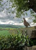 R?d-lagd benen p? ryggen rapph?na - North Yorkshire - England royaltyfria bilder