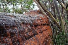 Röd lav på stenblocket i australisk skog Royaltyfri Fotografi