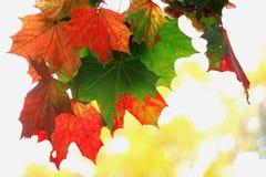 Röd leaf Royaltyfria Bilder