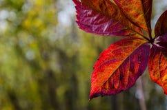 Röd leaf Royaltyfri Fotografi