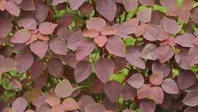Röd leaf Royaltyfri Foto