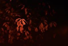 Röd leaf Royaltyfri Bild