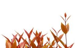 Röd leaf Arkivbilder