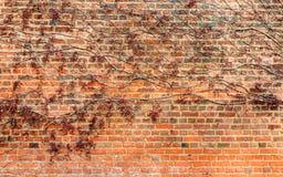 Röd leaf på tegelstenväggen Royaltyfria Foton