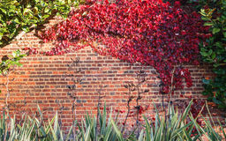 Röd leaf på tegelstenväggen Royaltyfria Bilder