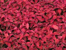Röd leafbakgrund Arkivfoton