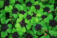 Röd-leaved växt av släkten Trifolium Fotografering för Bildbyråer
