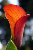 Röd lilja Fotografering för Bildbyråer